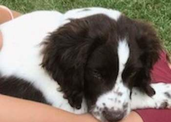 Van't Raveland – Chiots English Springer Spaniel