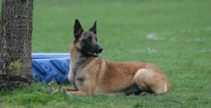 Ravenland - Berger malinois